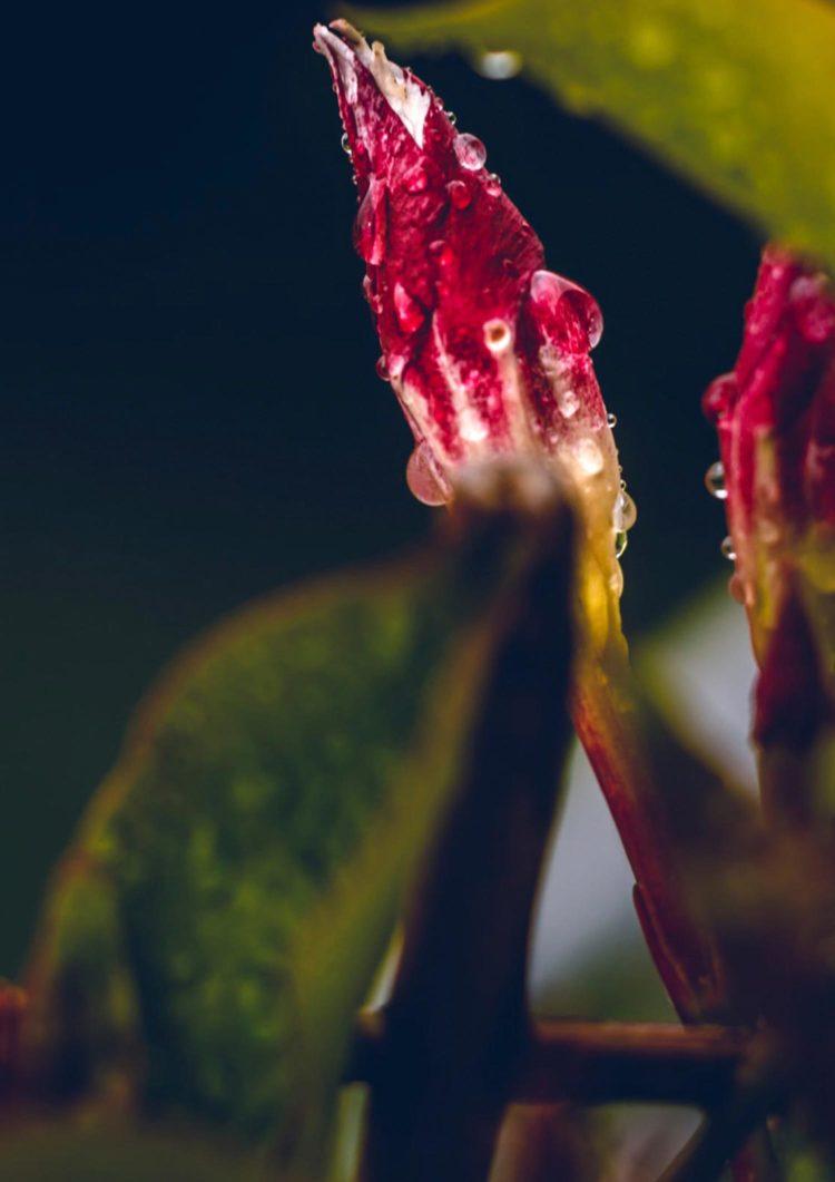 Natur Fotografie mit dem Titel 'Wolkenkinder #4'. Regentropfen auf einer roten Blüte